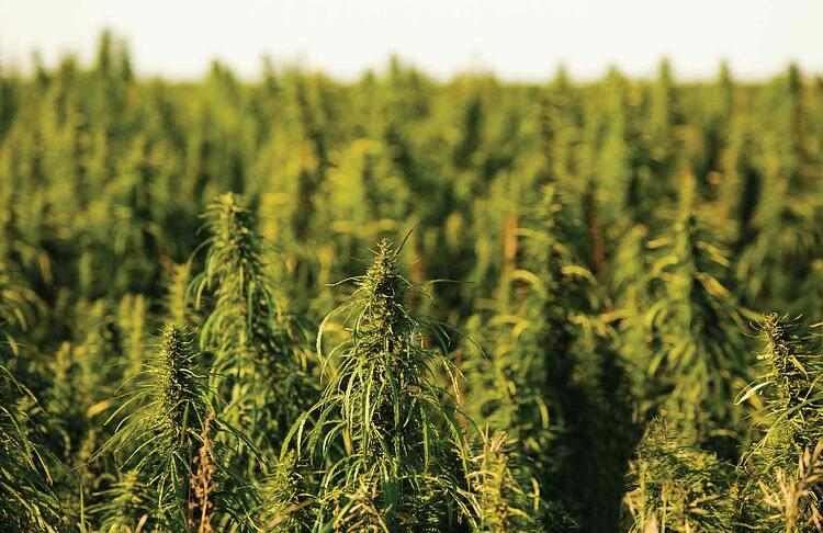 Only a successful value chain will make hemp production